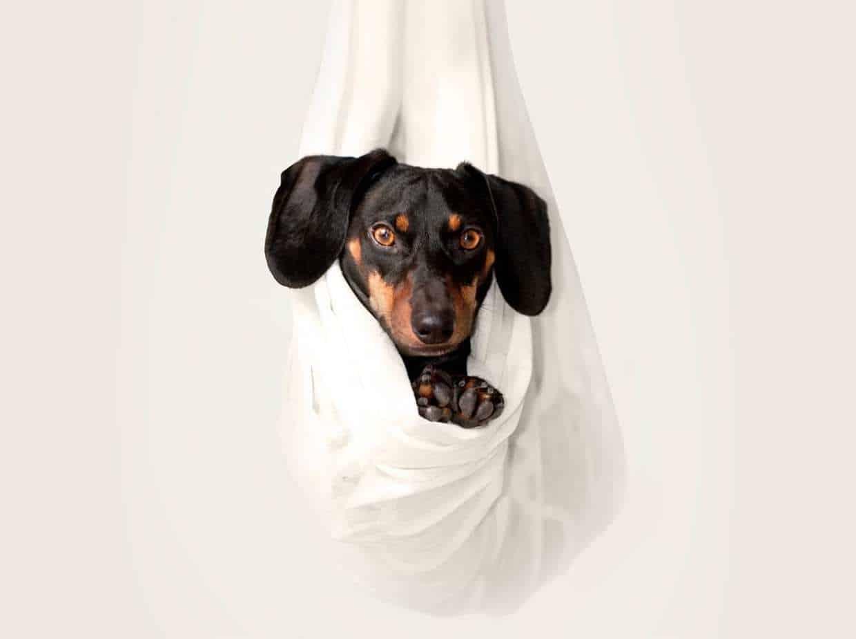 dog haning in white sheet like a hammock