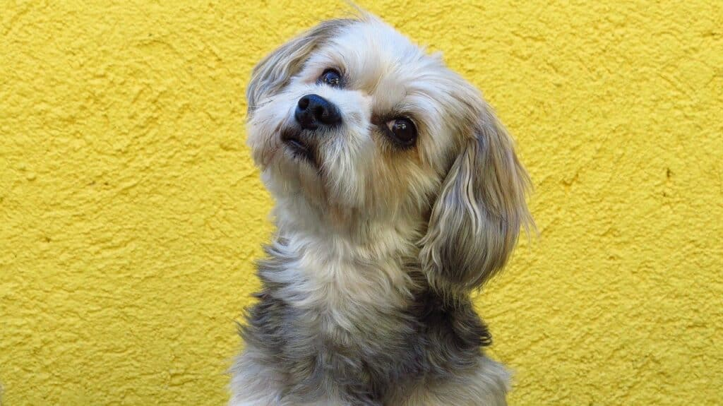Closeup of Maltese with yellow background