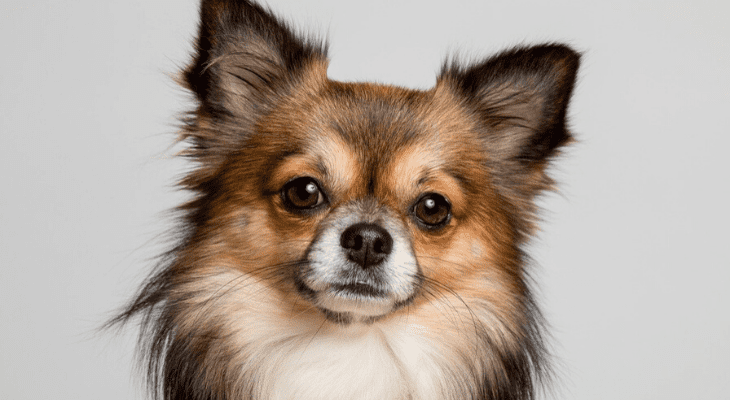 Chihuahua closeup banner