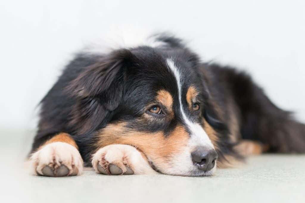Australian Shepherd laying down